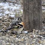 Bergfink, gäst vid fågelborden på våren