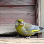 Grönfink, åter tillbaka efter en kraftig nedgång i antal