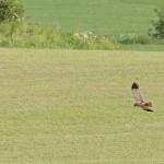 Brun Kärrhök, hane, nedanför Kolarbo